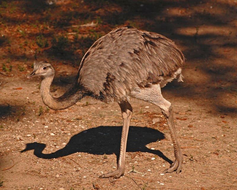 Un emù che cammina allo zoo di Audubon fotografia stock libera da diritti