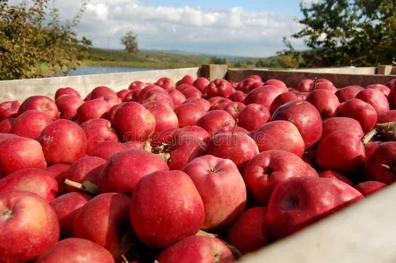 Un embalaje de manzanas fotos de archivo