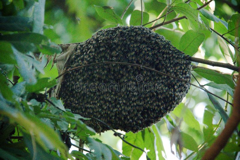 Un enjambre de las abejas pegadas alrededor un roble fotografía de archivo