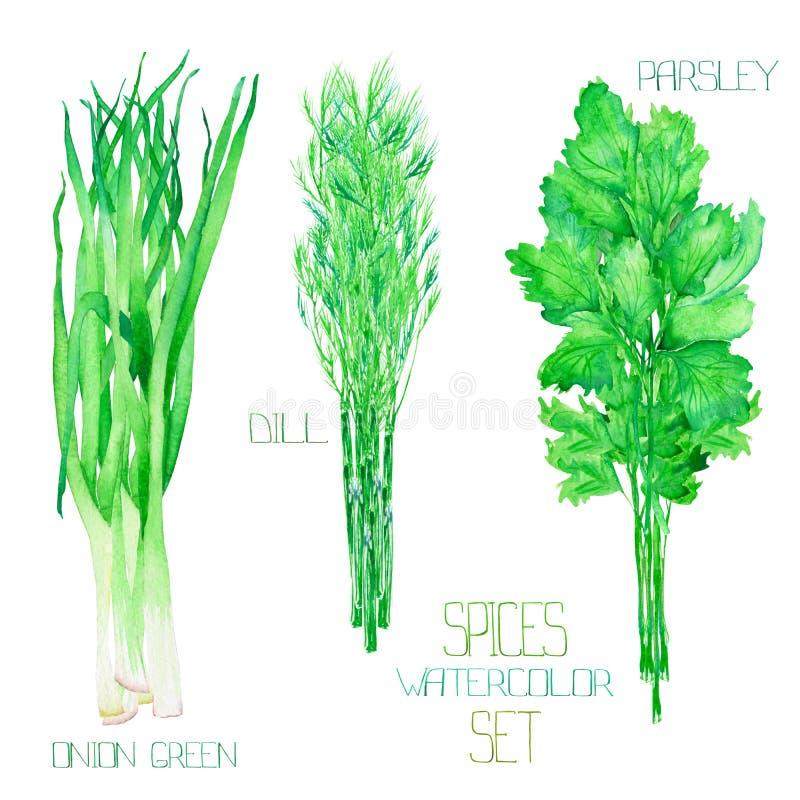 Un ensemble avec les épices d'aquarelle : paquets du vert d'oignon, aneth, persil, cilantro illustration stock