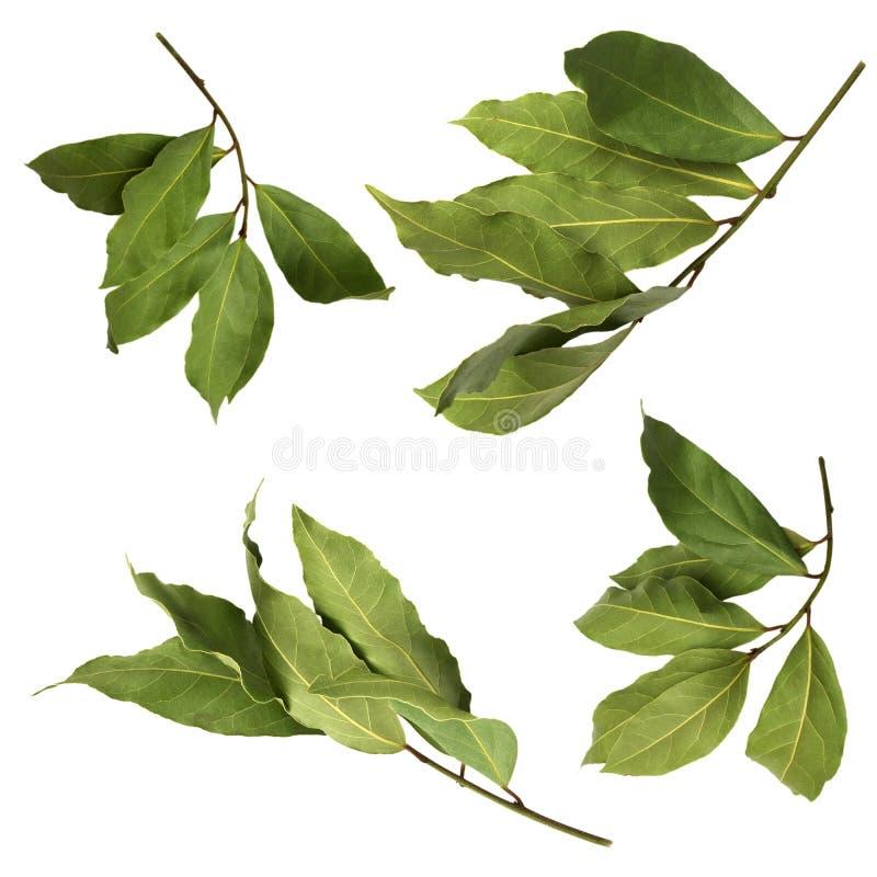 Un ensemble de photos aromatiques vertes sèches de branche de baie, d'isolement sur le blanc Brindilles de laurier Photo de récol photographie stock