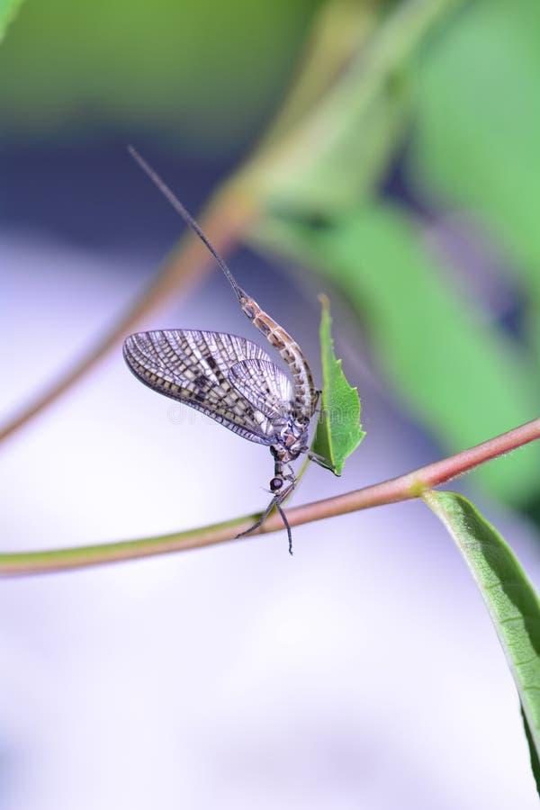 Un Ephemeroptera de la efímera en una planta en naturaleza verde imagen de archivo libre de regalías