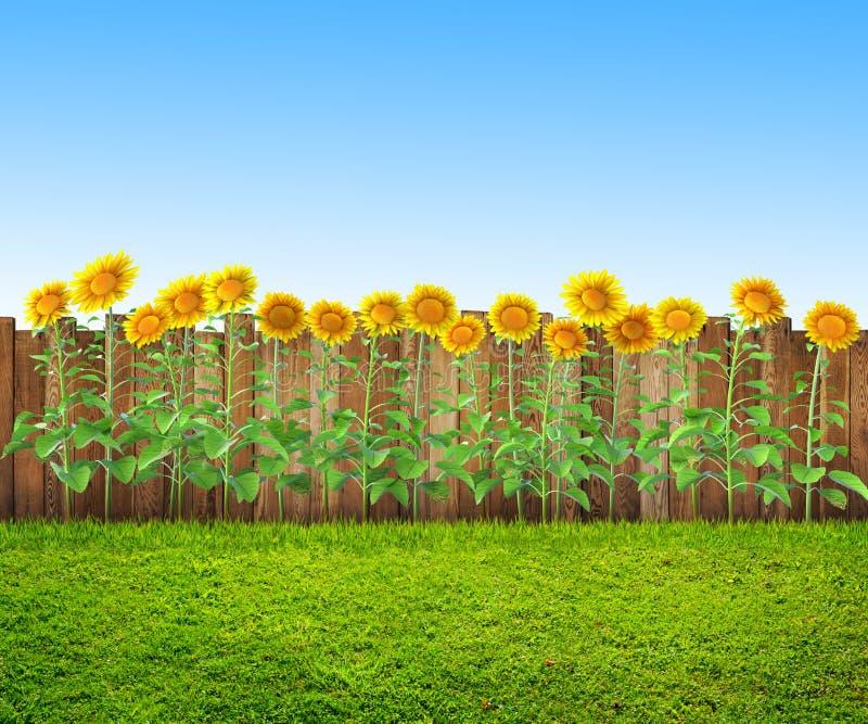 Un'erba e girasoli al cortile, fondo della molla immagini stock