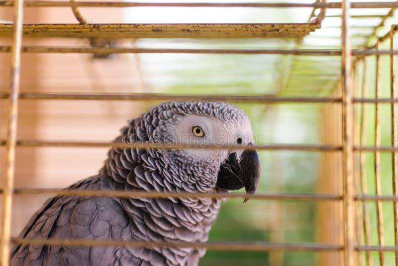 Un erithacus gris africain de Yaco Psittacus de cage photos libres de droits