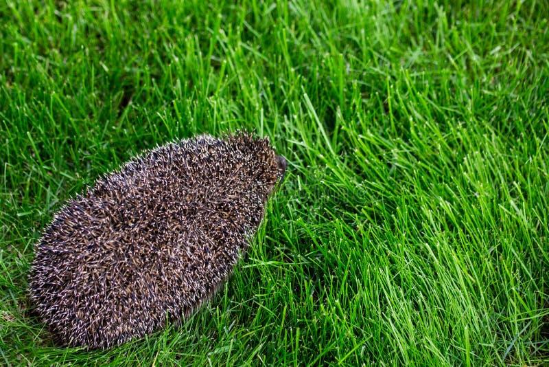 Un erizo que camina en un césped de la hierba verde fotografía de archivo
