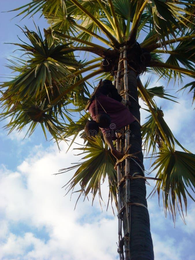 Un escalador de los cocos en una palma fotos de archivo