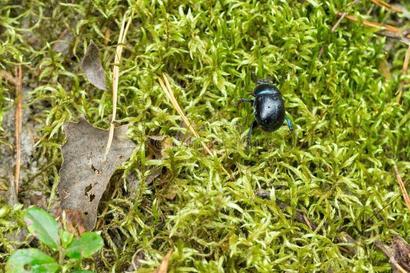 Un escarabajo azul del dor en musgo verde fotos de archivo