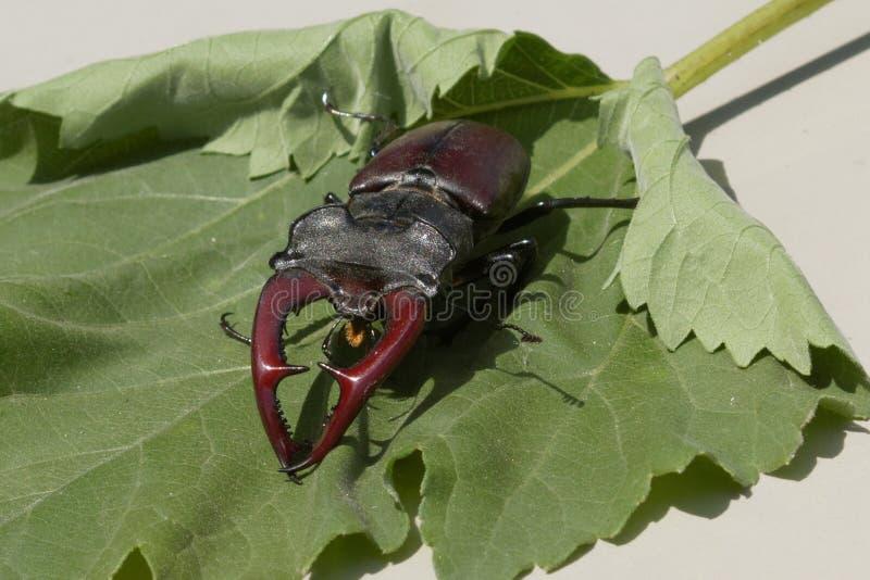 Un escarabajo de macho es un habitante raro de los bosques europeos del roble imagen de archivo