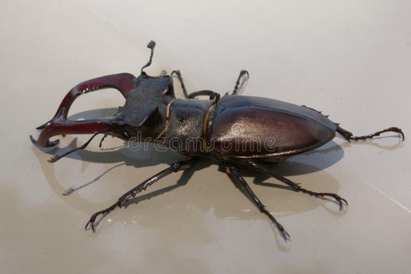 Un escarabajo de macho es un habitante raro de los bosques europeos del roble imágenes de archivo libres de regalías