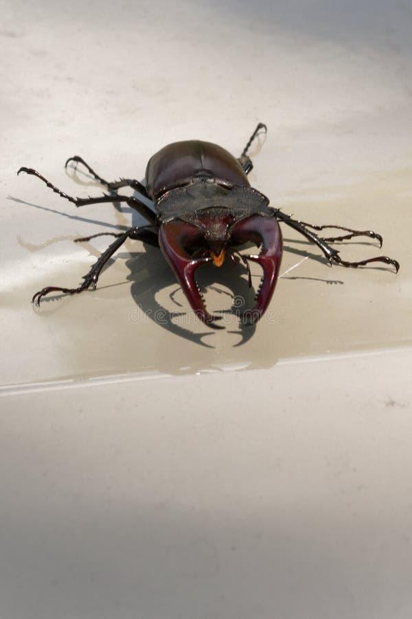 Un escarabajo de macho es un habitante raro de los bosques europeos del roble foto de archivo