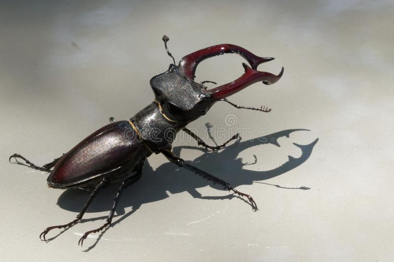 Un escarabajo de macho es un habitante raro de los bosques europeos del roble fotografía de archivo libre de regalías