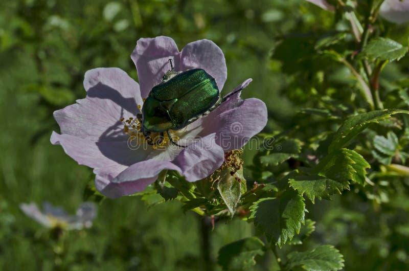 Un escarabajo o un aurata verde del Cetonia en el sol en una flor color de rosa salvaje de la floración, en el distrito Marchaevo imagenes de archivo