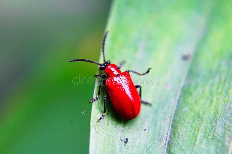 Un escarabajo rojo del lirio en una hoja fotografía de archivo