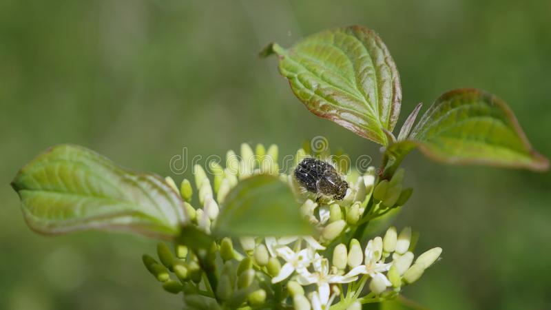 Un escarabajo se sienta en un florecimiento fotografía de archivo libre de regalías