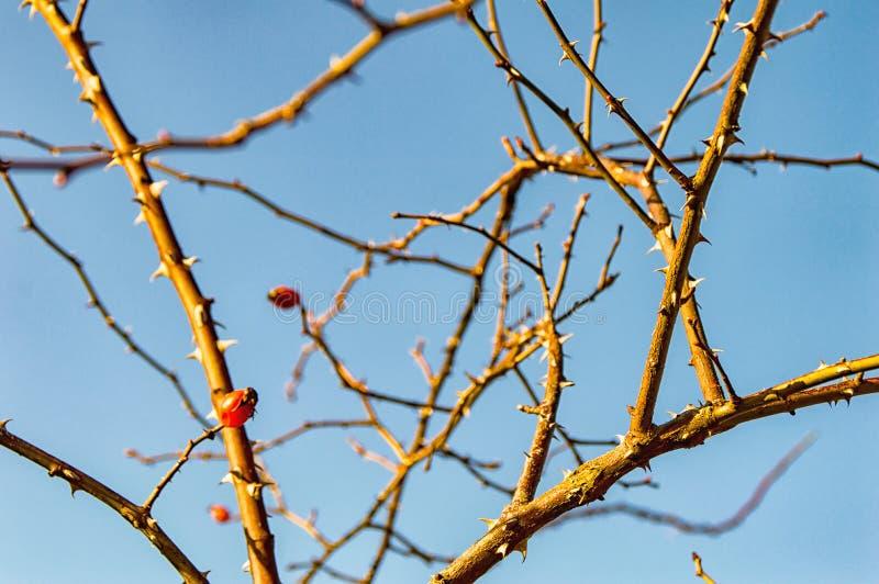 Un escaramujo en un arbusto fotografía de archivo