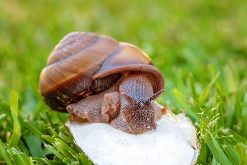 Un escargot bicolore de Cooktown image stock