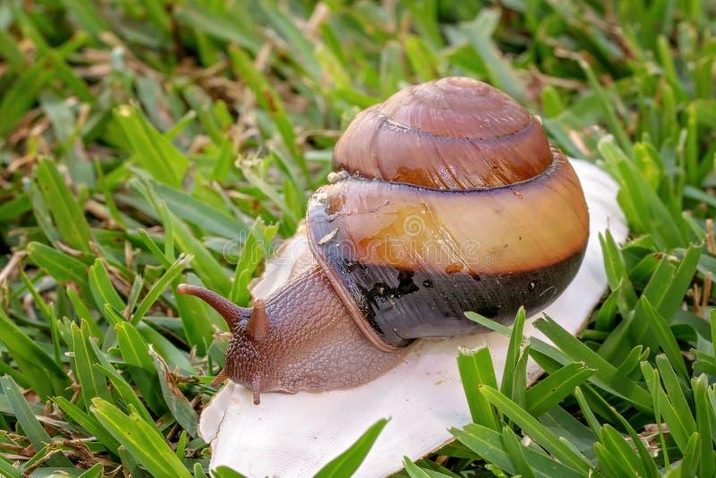 Un escargot bicolore de Cooktown photographie stock libre de droits