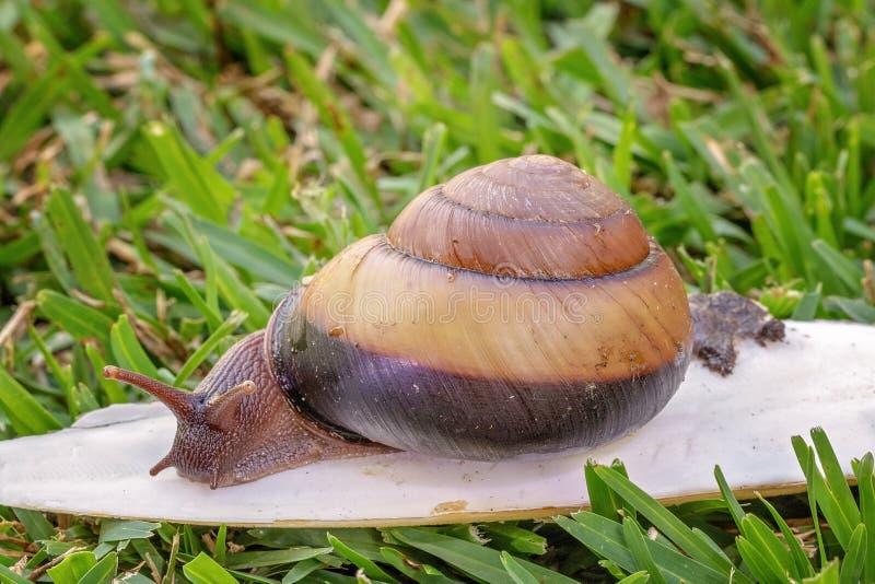 Un escargot bicolore de Cooktown images libres de droits