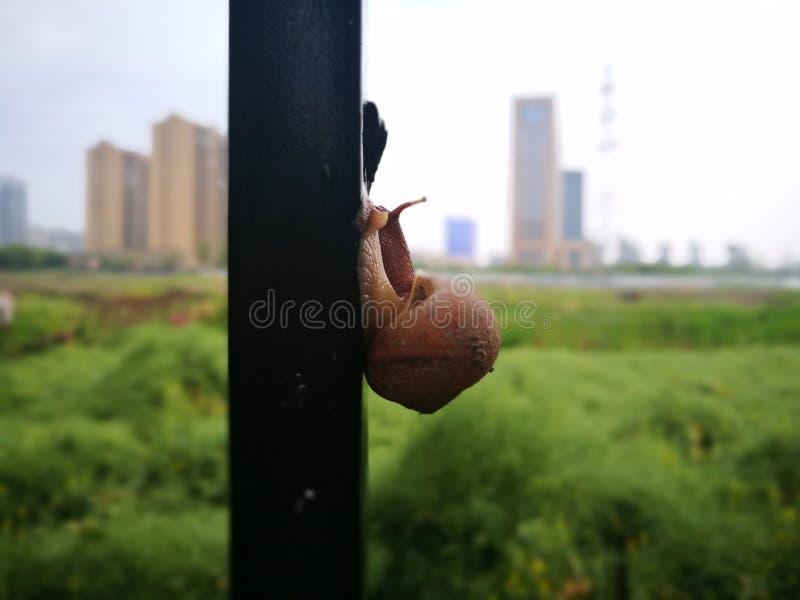 Un escargot s'élevant sur la barrière images libres de droits