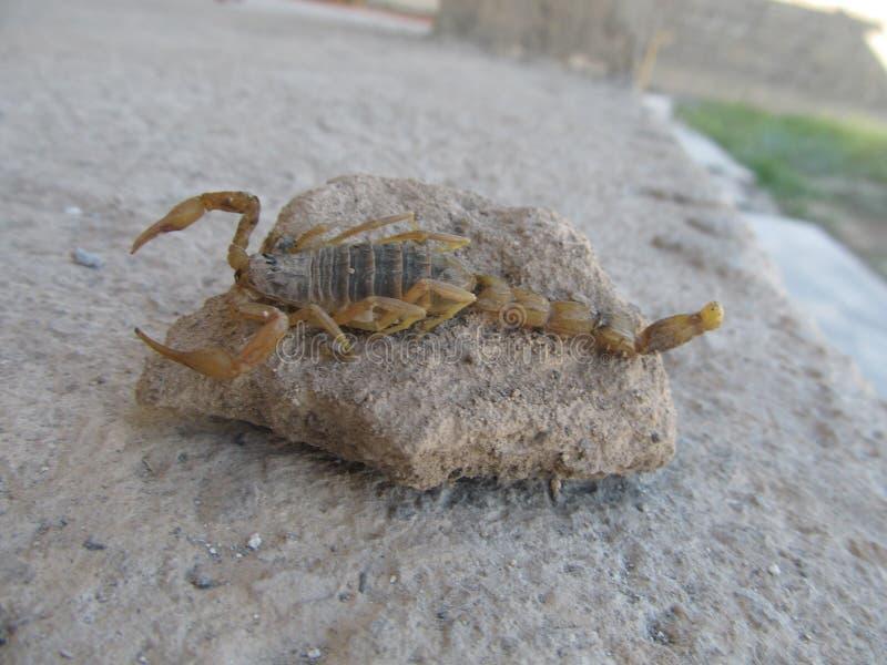 Un escorpión real imágenes de archivo libres de regalías