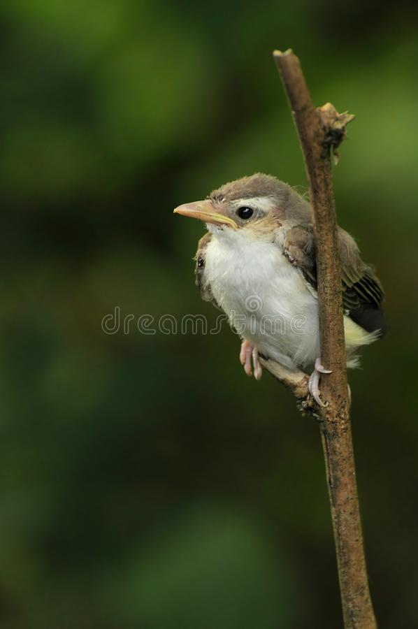 Un especie de ave que gorjea joven fotos de archivo