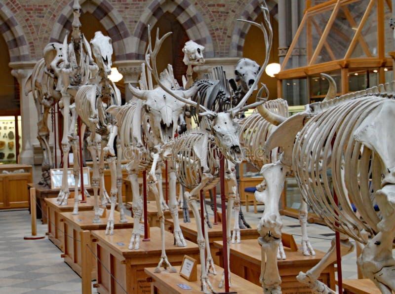 Un'esposizione degli scheletri degli animali estinti al museo di storia naturale di Oxford fotografia stock libera da diritti