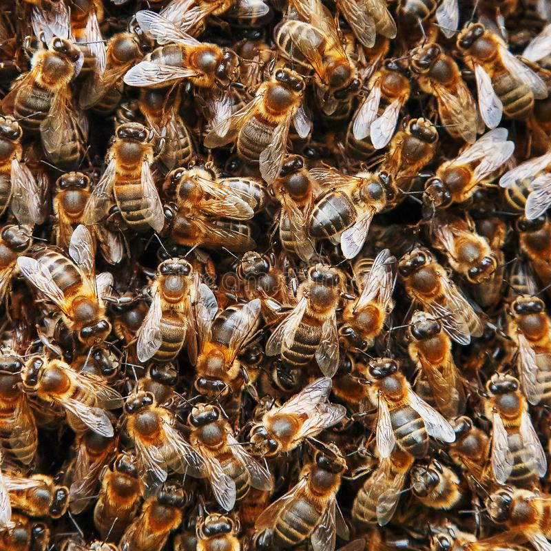 Un essaim des abeilles sur la ruche Beaucoup d'abeilles sous forme de plan rapproché de texture Macro photos stock