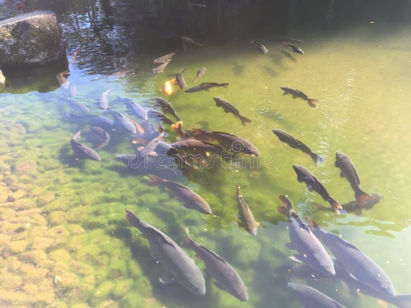 Un estanque de peces en la selva en Japón fotografía de archivo