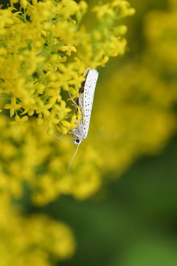 Un evonymella minúsculo de Ermine Micro Moth Yponomeuta de la Pájaro-cereza nectaring en verum del galio del galio del ` s de la  imagen de archivo