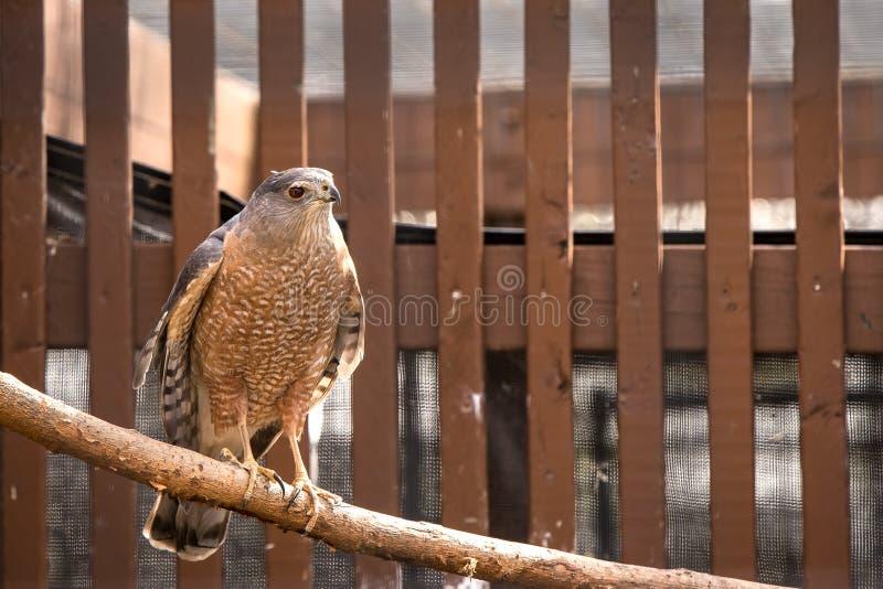 Un falco del ` s del bottaio si è appollaiato su un ramo allo zoo immagine stock libera da diritti