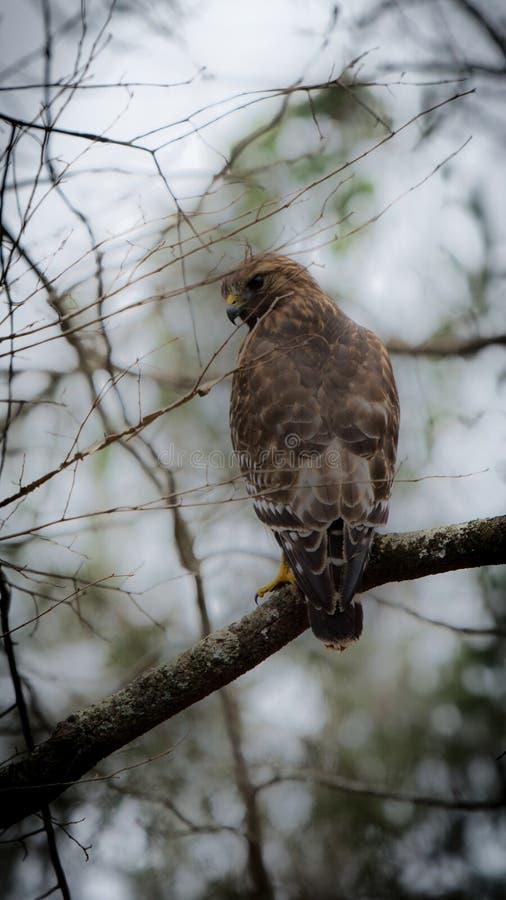 Un falco di spalle rosse appollaiato su un ramo di un albero nella contea di Orange (Carolina del Nord) fotografia stock libera da diritti
