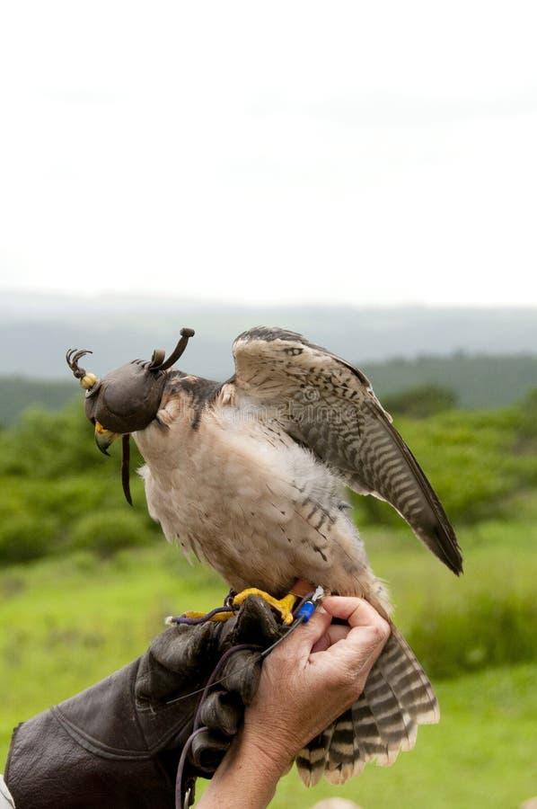 Un falco pellegrino fotografie stock