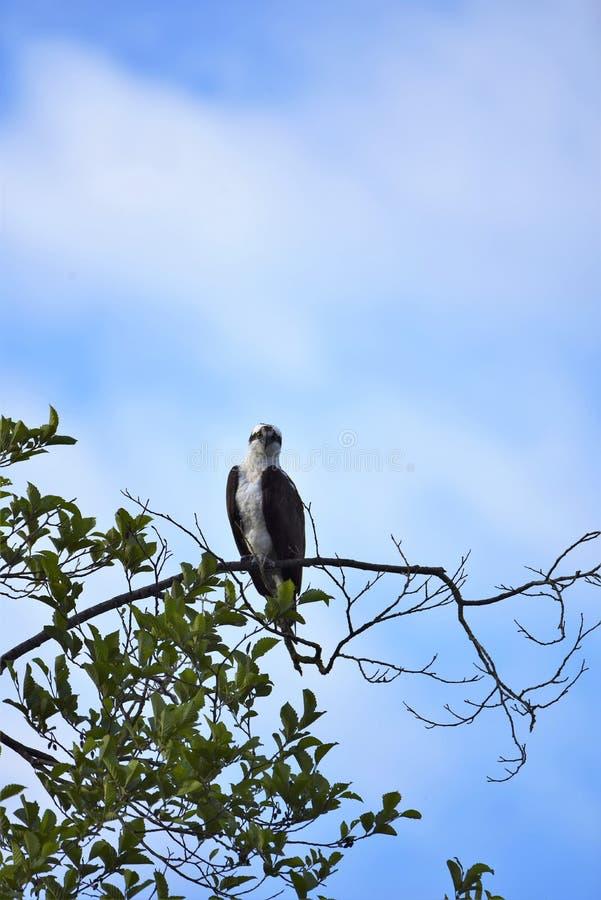 Un falco pescatore appollaiato sull'albero fotografia stock