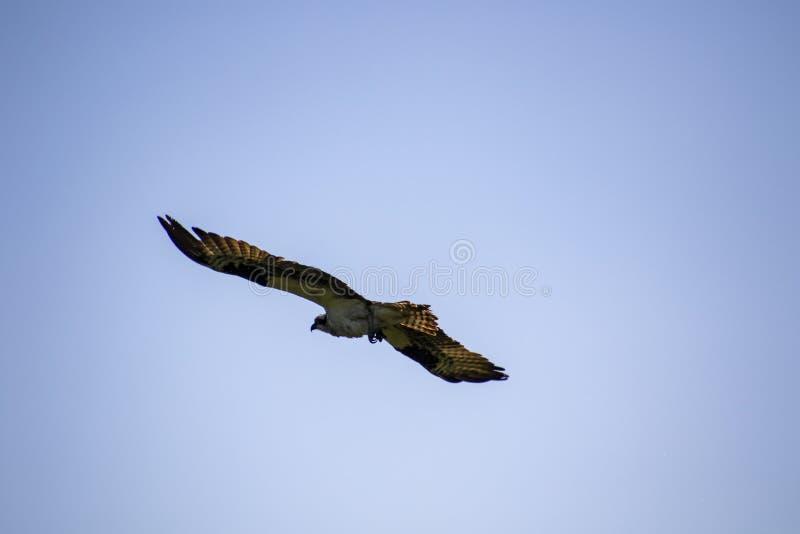 Un falco pescatore che vola via fotografia stock