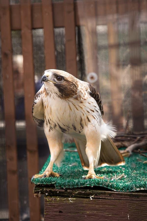 Un falco rosso-munito nella sua gabbia allo zoo fotografia stock libera da diritti