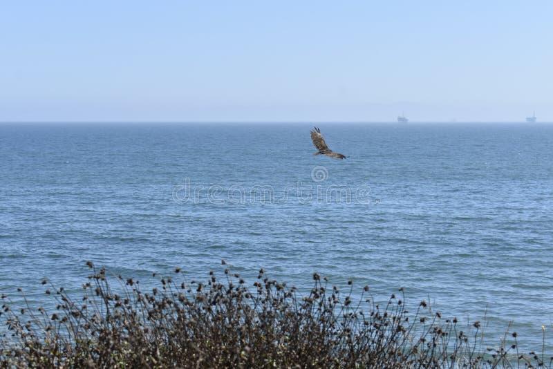 Un falco solo che scivola sopra la costa di California del sud fotografie stock