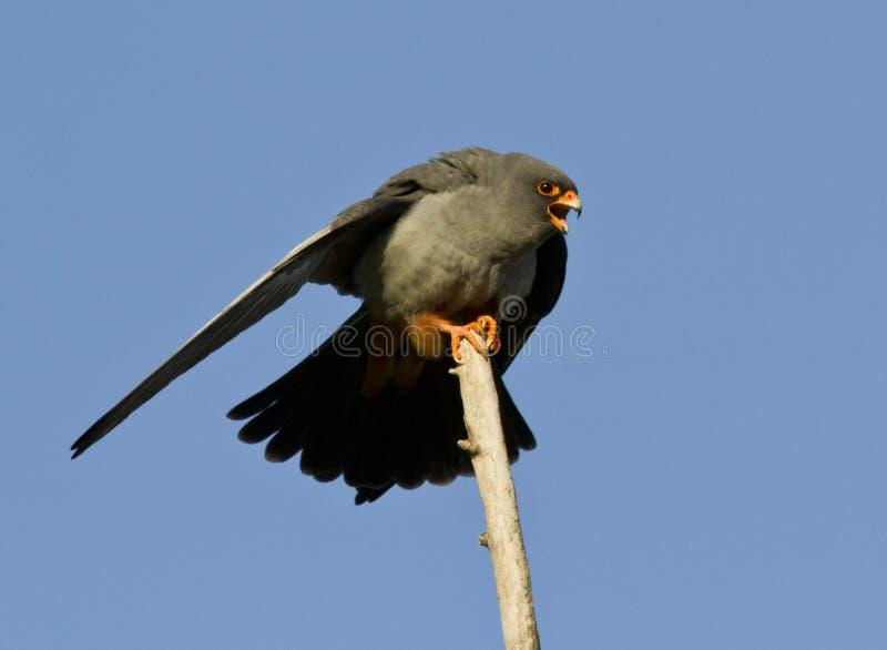 Un falcon-2 Rojo-footed masculino. fotografía de archivo