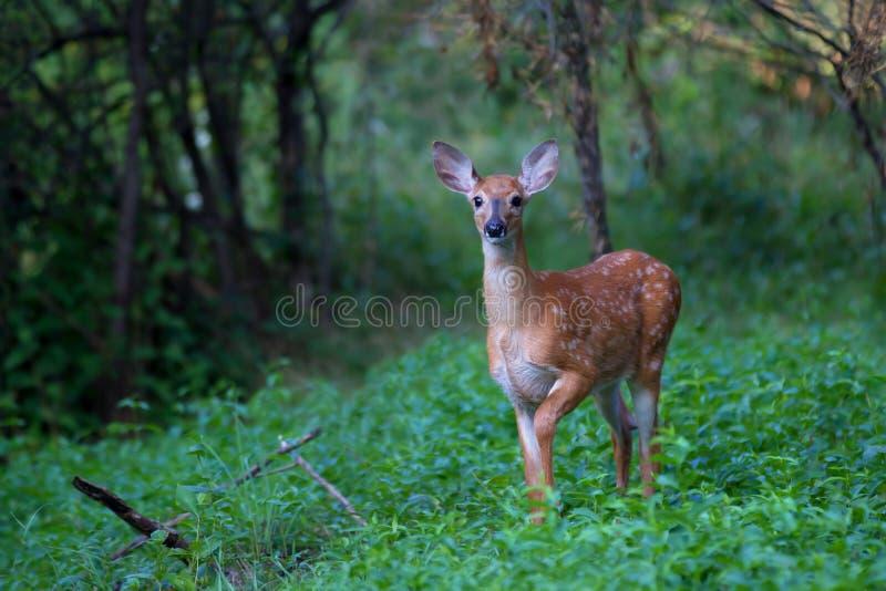 Un faon Blanc-coupé la queue de cerfs communs dans la forêt photos libres de droits