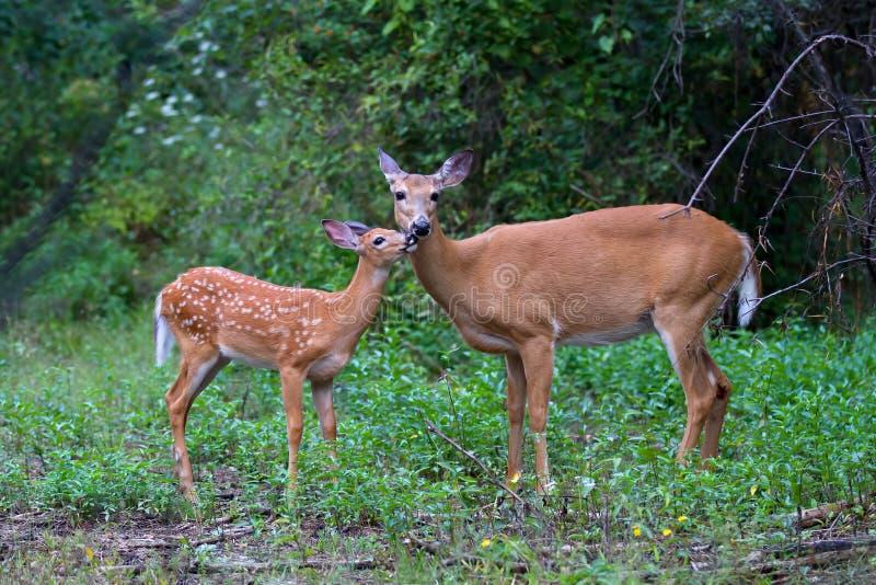Un faon et une daine Blanc-coupés la queue de cerfs communs dans la forêt photo stock
