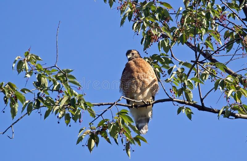 Un faucon épaulé rouge photos libres de droits