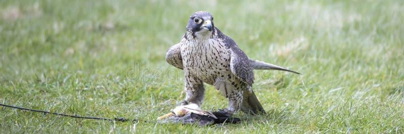 Un faucon en dehors d'une fauconnerie photographie stock libre de droits