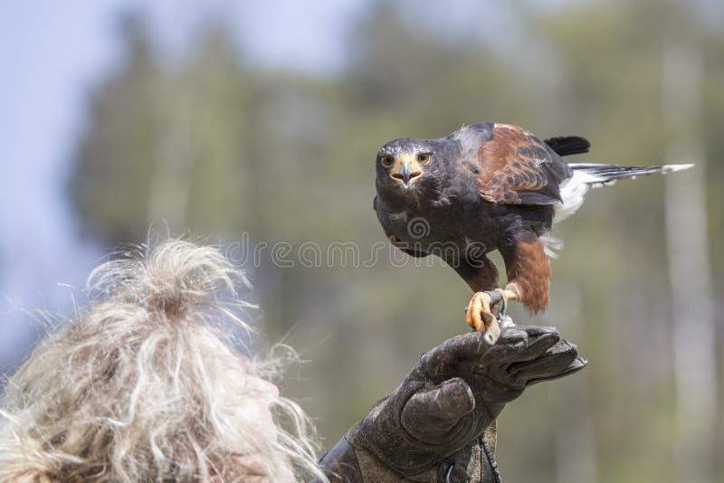 Un faucon en dehors d'une fauconnerie photos libres de droits