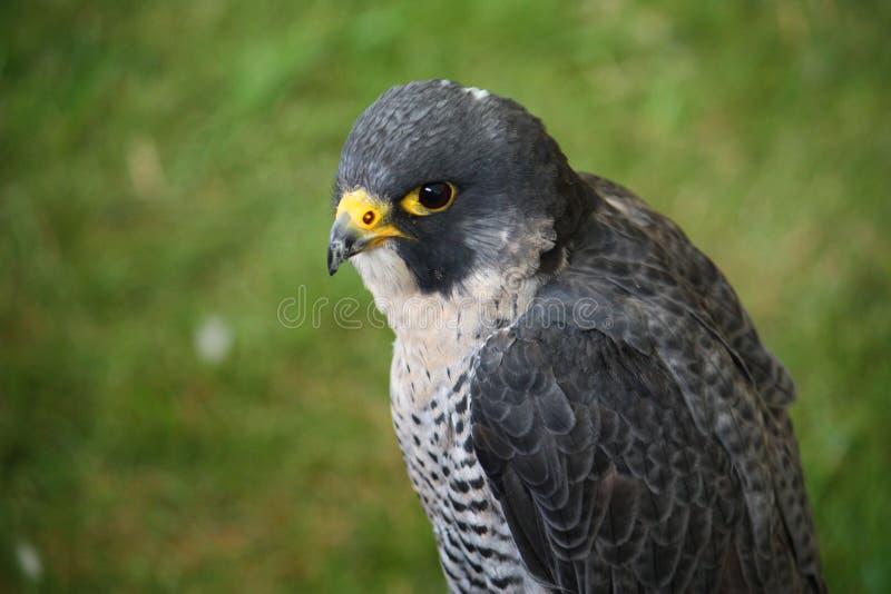 Un faucon gris et blanc magnifique photo stock image du for Oiseau gris et blanc