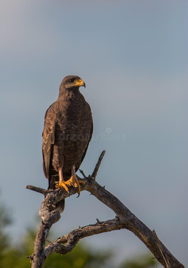 Un faucon noir commun fier sur une branche image libre de droits