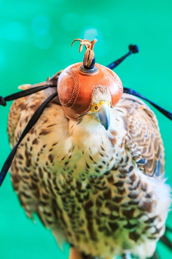 Un faucon ou un jamaicensis Rouge-coupé la queue de Buteo est couvert de masque de fauconnerie photo libre de droits
