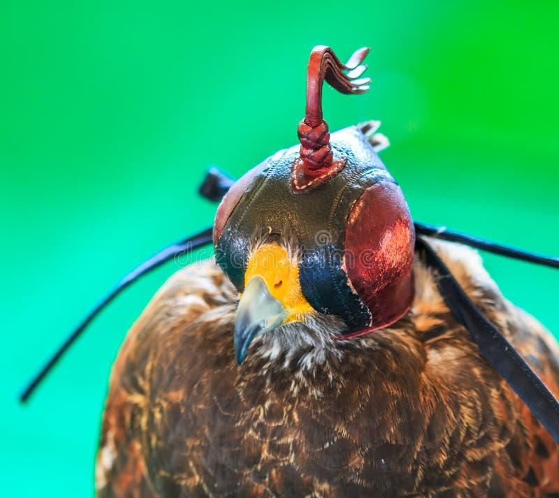 Un faucon ou un jamaicensis Rouge-coupé la queue de Buteo est couvert de masque de fauconnerie image stock