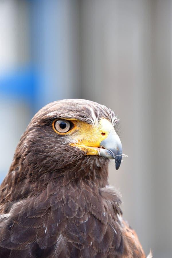 Un faucon qualifié de Harris en service sur un marché extérieur public photographie stock libre de droits