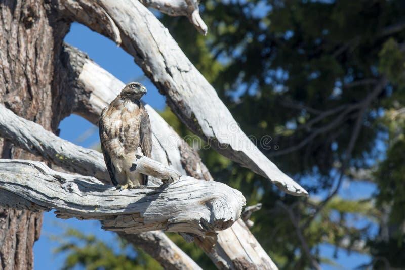 Un faucon rouge-coupé la queue se repose dans un arbre images stock