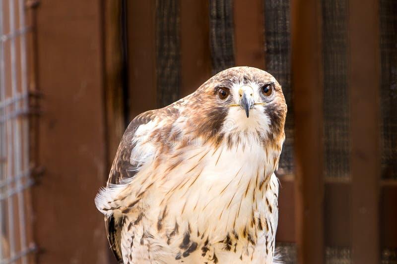 Un faucon rouge-coupé la queue se tenant dans sa clôture images libres de droits