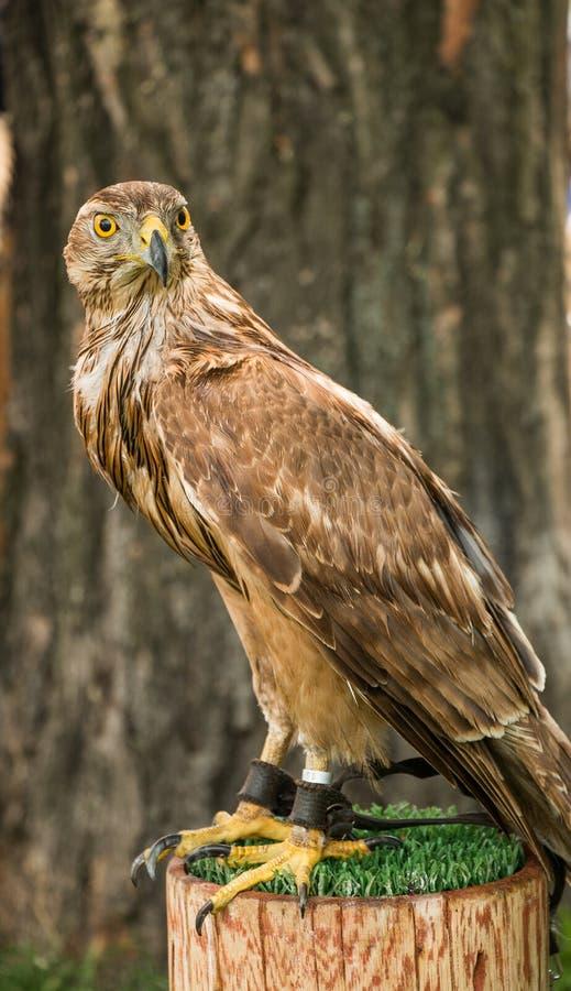 Un faucon se repose a enchaîné sur un tronçon, avec un arbre de brun foncé au CCB images libres de droits